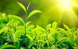 lá trà xanh chữa viêm âm đạo