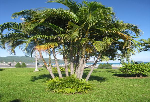 mơ cây dừa