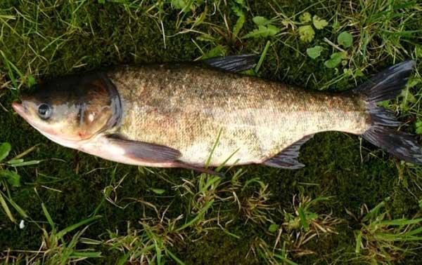 Giải mã giấc mơ thấy cá mè mang ý nghĩa gì