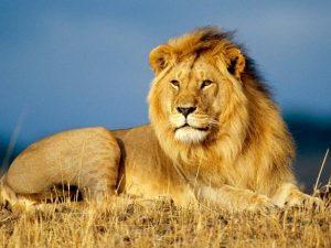 Mơ thấy sư tử là điềm báo điều gì?