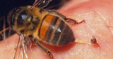 Bị ong đốt là điềm gì, hên hay xui